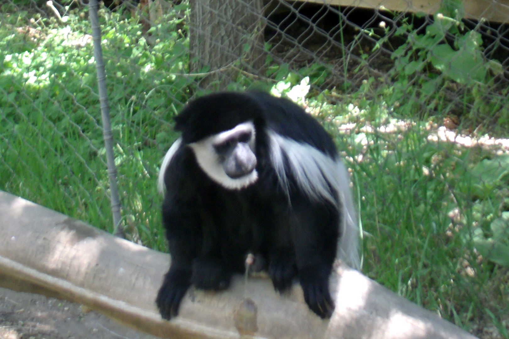 Photo of a monkey at the zoo.